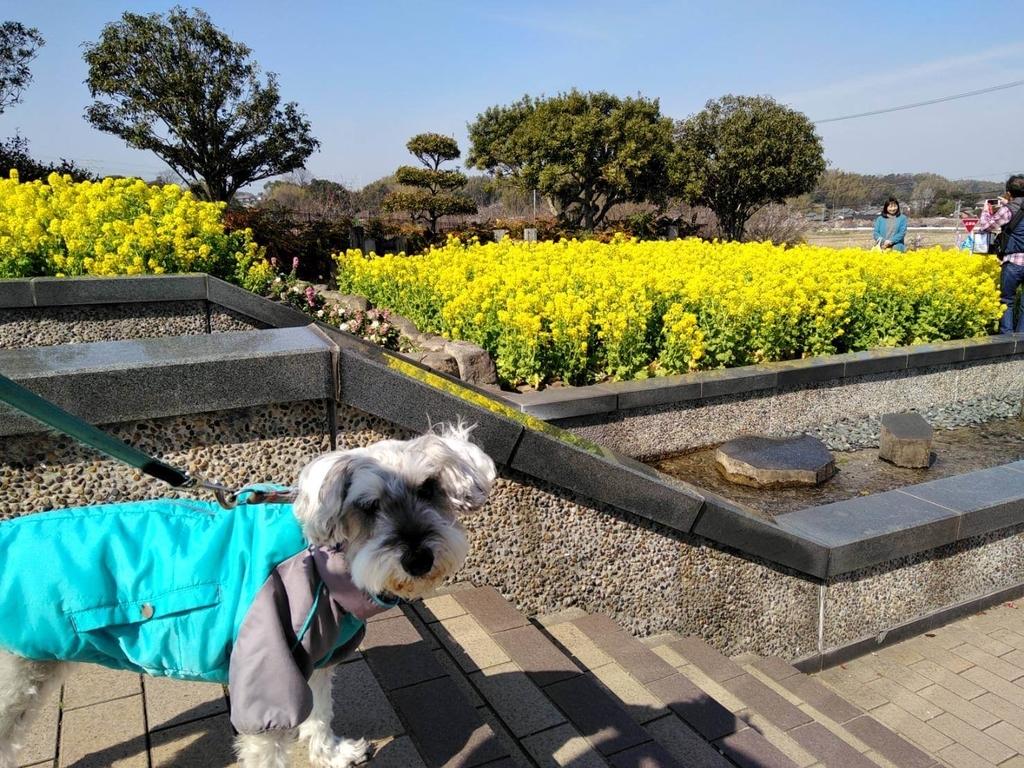 ペットと遊ぶ:佐布里池梅まつり 菜の花