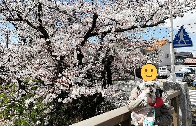 愛知県内でペットと遊ぶ:黒川桜まつり