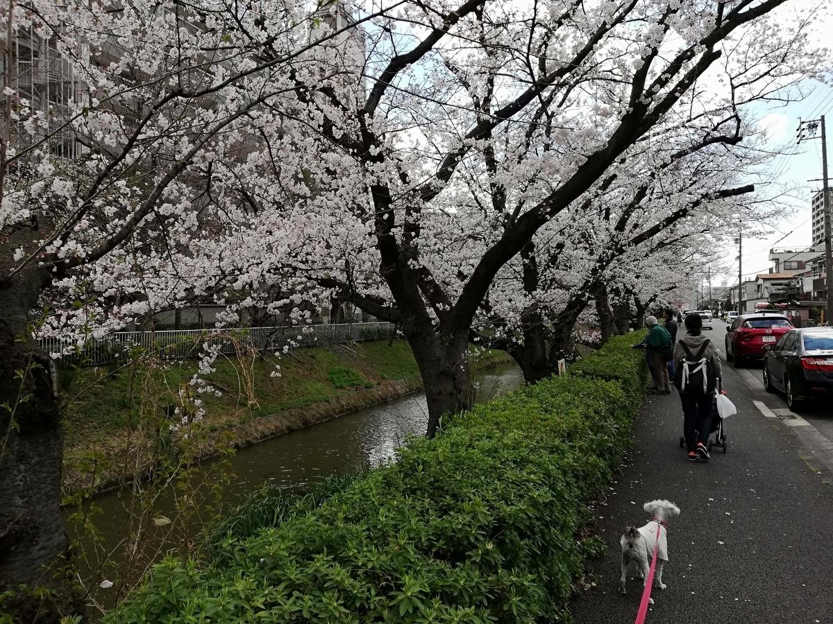 愛知県内でペットと遊ぶ:黒川桜まつり ペットは桜より散歩