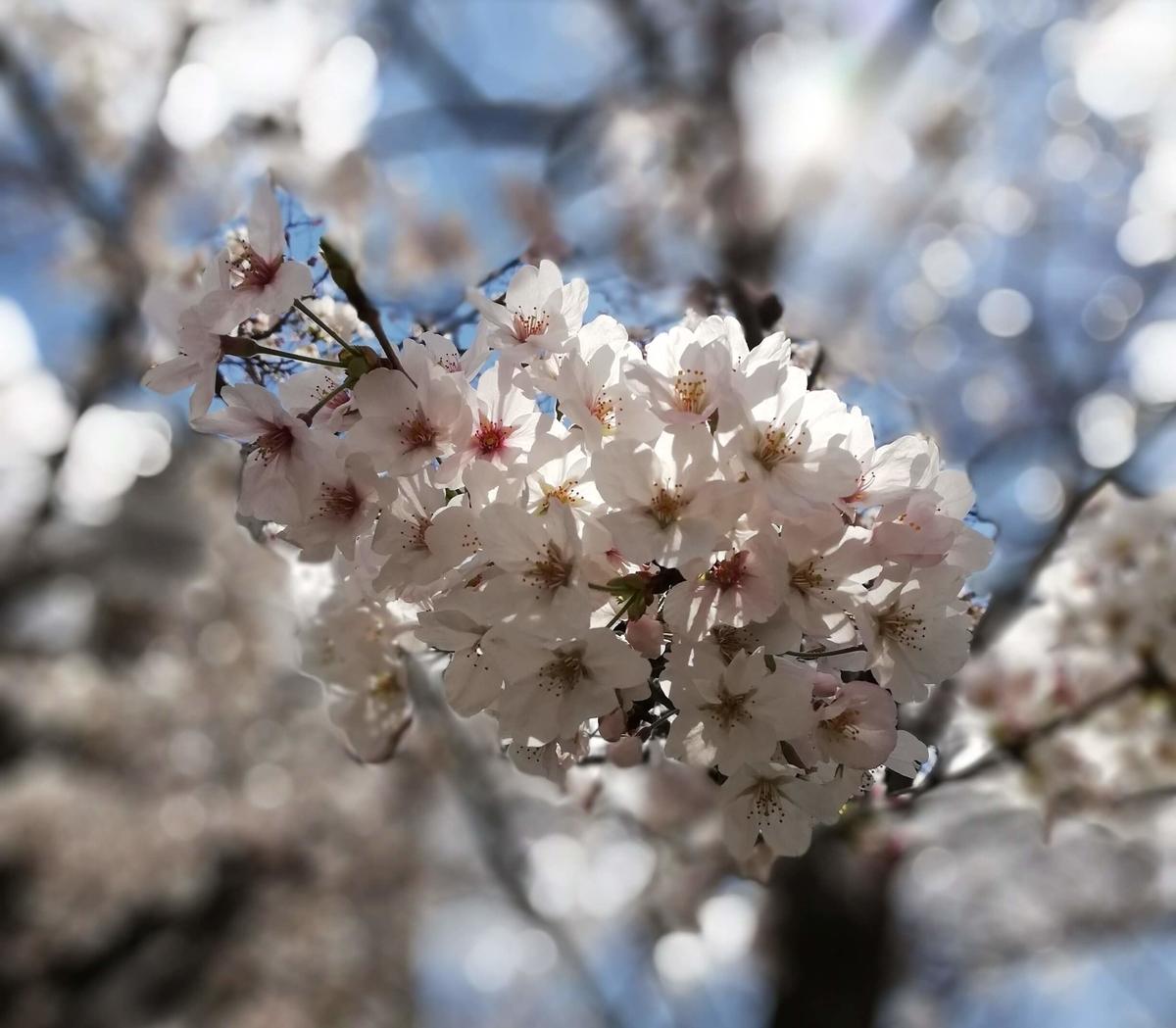 愛知県内でペットと遊ぶ:黒川桜まつり 桜を接写