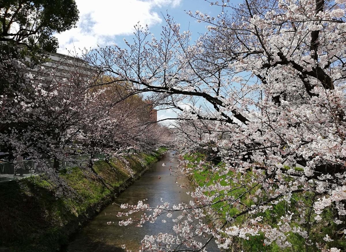 愛知県内でペットと遊ぶ:黒川桜まつり 用水路