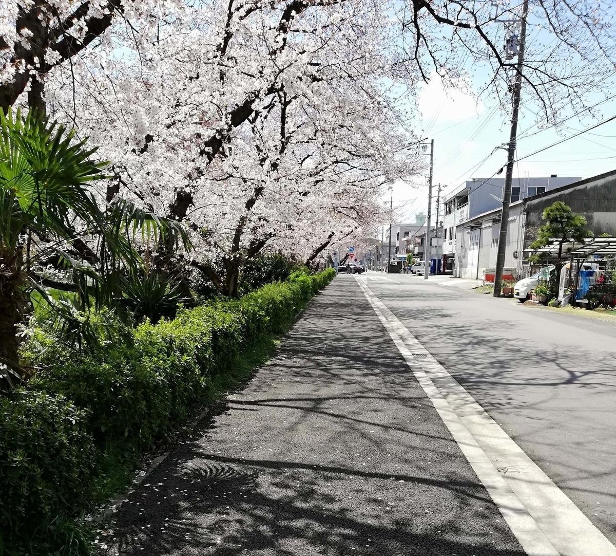 愛知県内でペットと遊ぶ:黒川桜まつり 住宅街の桜