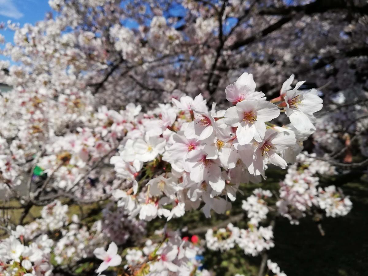 愛知県内でペットと遊ぶ:名古屋城桜まつり 名古屋能楽堂