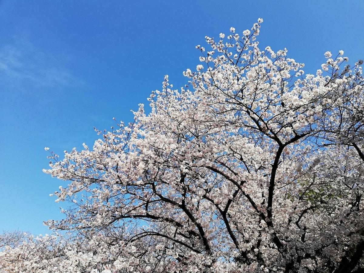 愛知県内でペットと遊ぶ:名古屋城桜まつり 桜と空