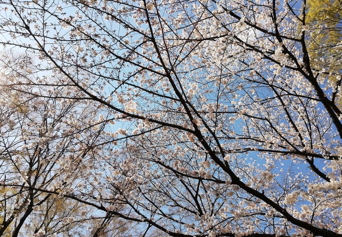 愛知県内でペットと遊ぶ:名古屋城桜まつり 桜並木
