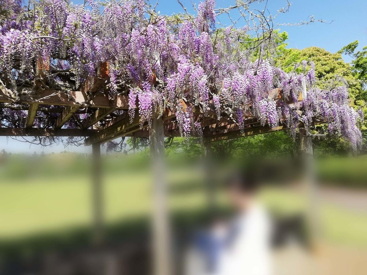 千葉県横芝光町:光スポーツ公園 藤の花