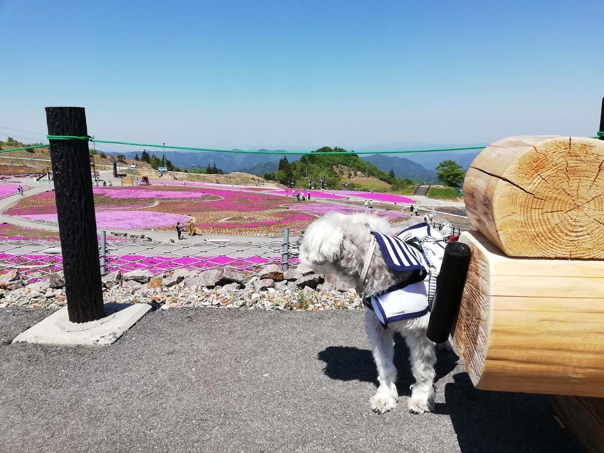 愛知県内でペットと遊ぶ:茶臼山高原 芝桜の丘 頂上