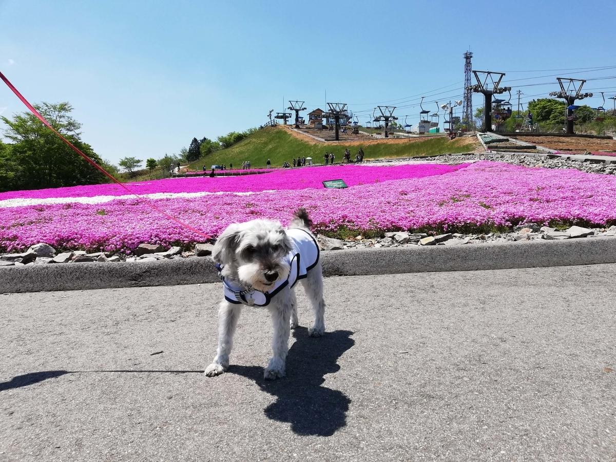愛知県内でペットと遊ぶ:茶臼山高原 ペットと一緒に芝桜