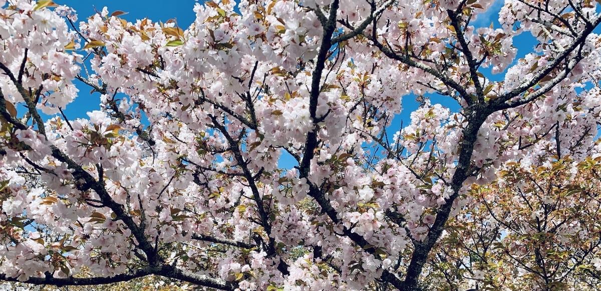仁和寺の御室桜は遅咲き