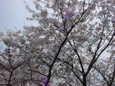 大きな桜の樹の下で