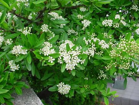 ピラカンサの花