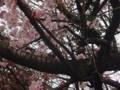 気が早い桜