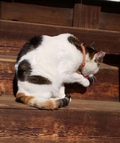神社猫のミケちゃん