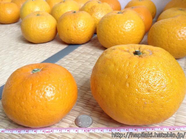 和歌山県産甘夏みかんの大きさ比較