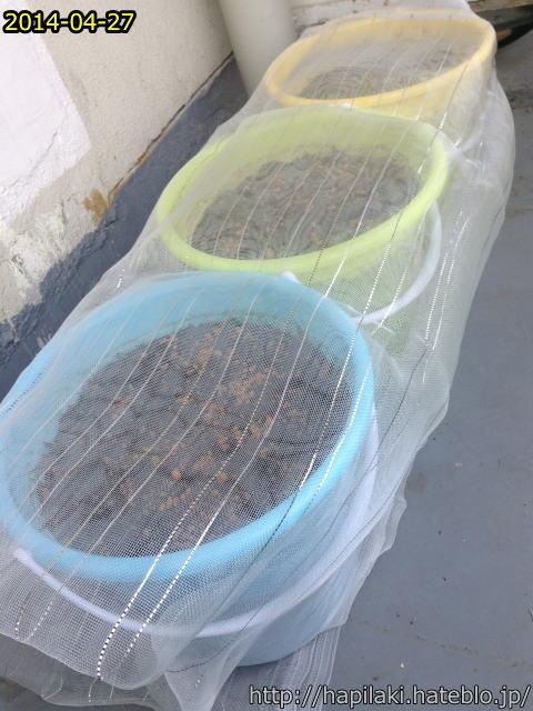 ダイソー防虫ネットをバケツ稲づくりで使う