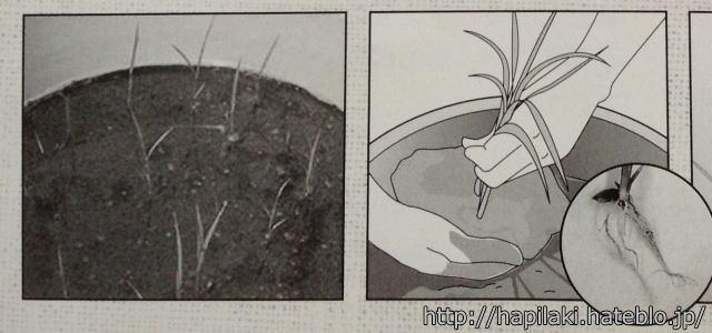 バケツ稲づくりマニュアル3の写真とイラスト