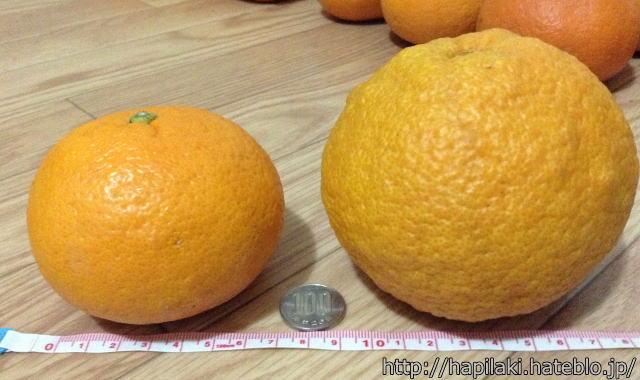 amazon愛媛県産甘夏みかんの大きさ比較