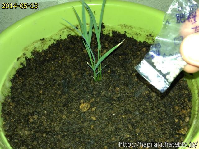 バケツ稲づくり苗の移し替え