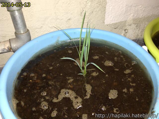 バケツ稲づくり水を1cmの深さに