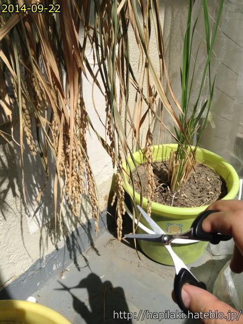 稲の穂先をカット