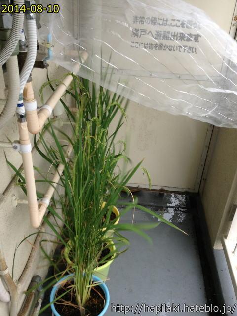 バケツ稲づくり、台風で防虫ネットが飛ばされそうになる