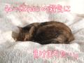 [ねこ][多頭飼][里親募集][アニメ]【猫アニメ】チビらぶ注意報発令にゃ!