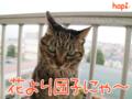 [猫][多頭飼い][里親募集][動物愛護]【猫アニメ】春のはとはとツアー・2017にゃ!
