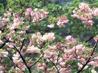 お花見といえば「桜」です。桜は染井吉野だけではありません!たくさんの山桜、里桜があります!