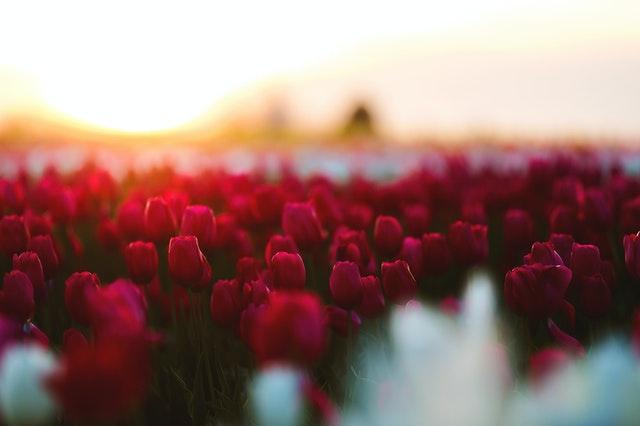 たくさんの赤いチューリップが映るノスタルジックな写真