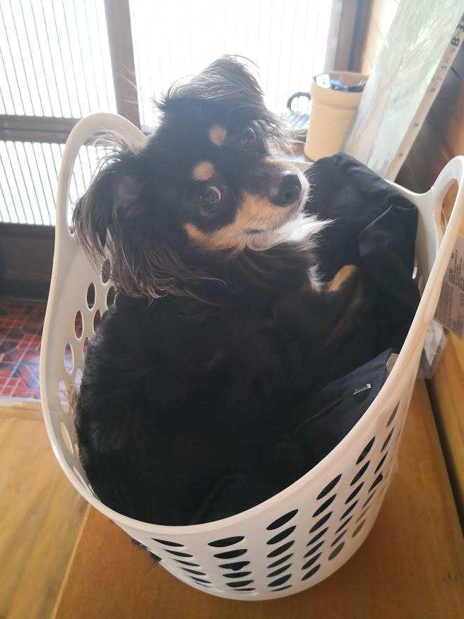 ランドリバスケットに入る犬