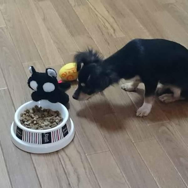 チワックスの子犬ご飯をたべる