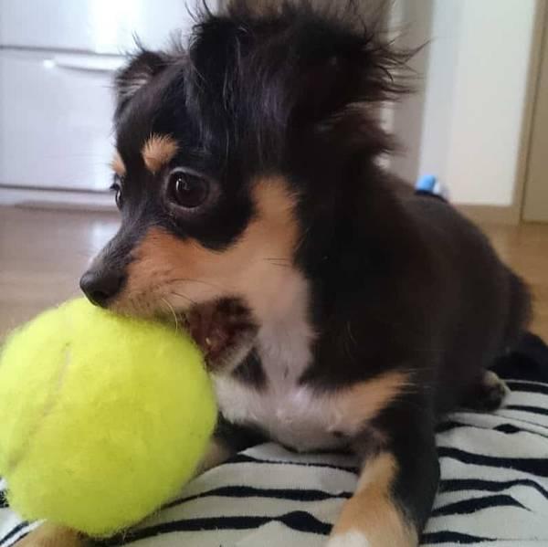 テニスボールを加える子犬