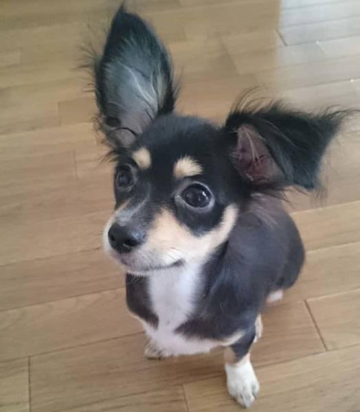 チワックスの子犬耳がピーン