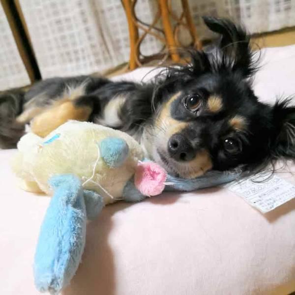 おもちゃと一緒に寝るチワックス