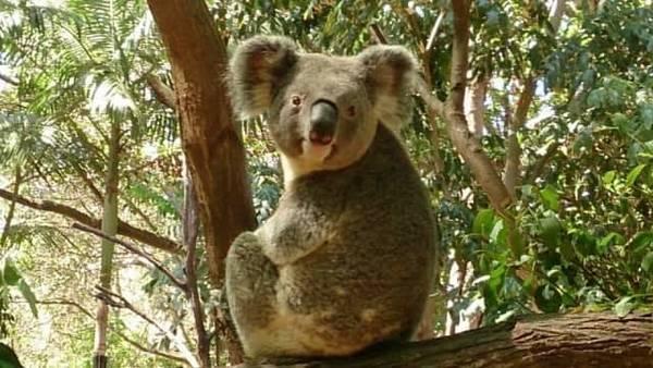 コアラ画像