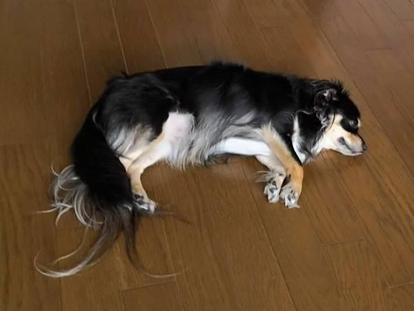 床の上に落ちている犬