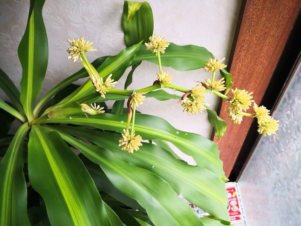 ドラセナの花のつぼみが伸びてくる