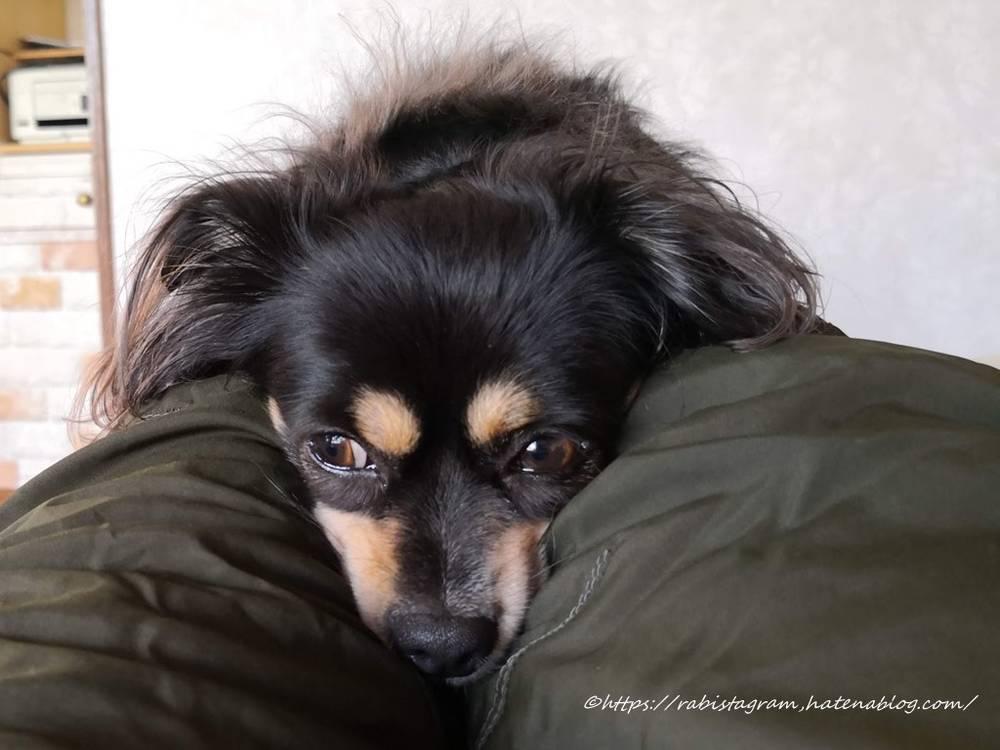 飼い主の膝の上で寝るチワックス