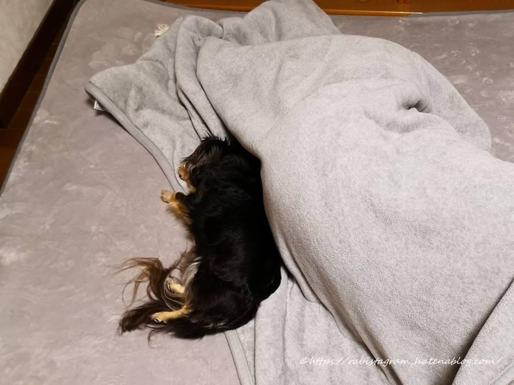 飼い主のおしりにくっついて寝るチワックス