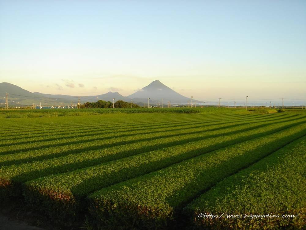 鹿児島頴娃町の茶畑