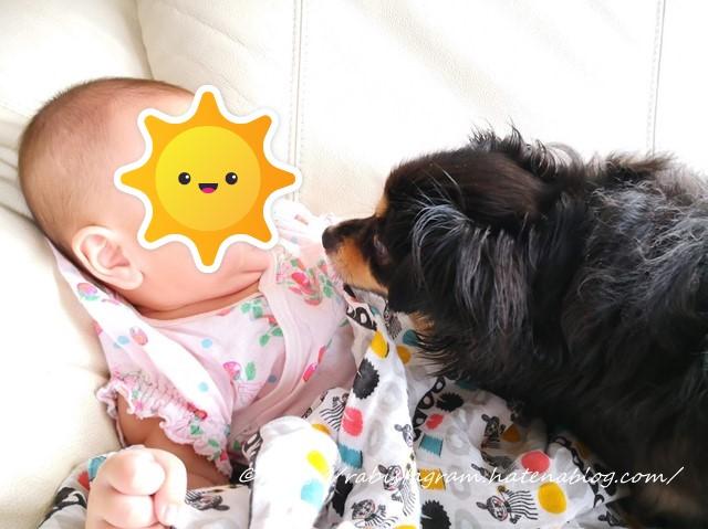 チワックスと赤ちゃんの画像です。