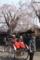 角館・桜と人力車