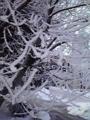 旭川・樹氷