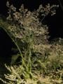 旭川・旭山公園夜桜まつり2016