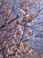 旭川・春光・桜
