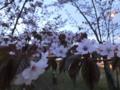 170507旭山夜桜まつり