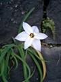 石垣の隙間から咲く花