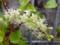 雲南百薬(アカザカズラ)の花