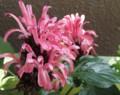 サンゴバナ〔珊瑚花〕(フラミンゴプランツ) 英名