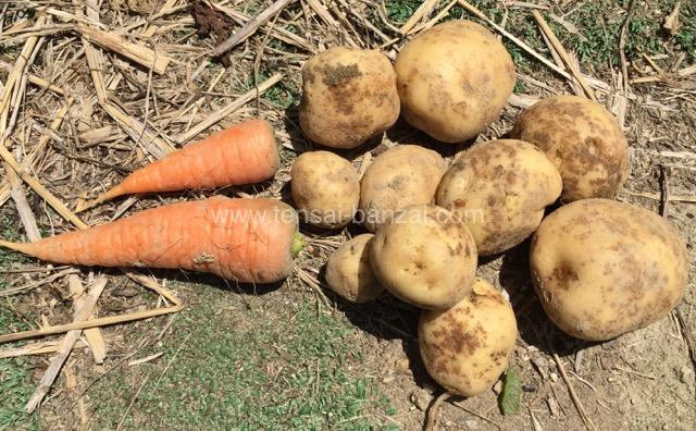 家庭菜園で採れたジャガイモと人参